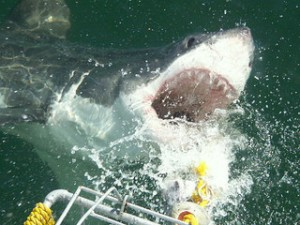 photo credit: Shark Cage Diving in Hermanus via photopin (license)