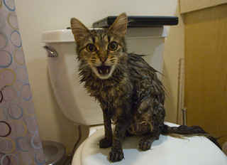 bathe cat