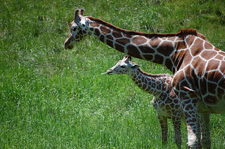 photo credit: giraffe via photopin (license)