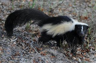 photo credit: Skunk Encounter via photopin (license)