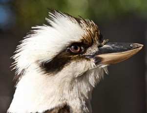 kookaburra GAD