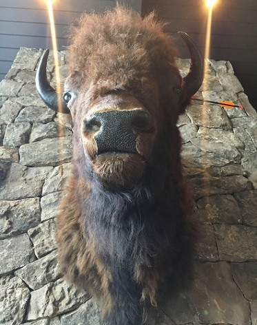 taxidermy-buffalo